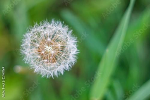 Fotobehang Paardebloem fluffy white dandelion on green background