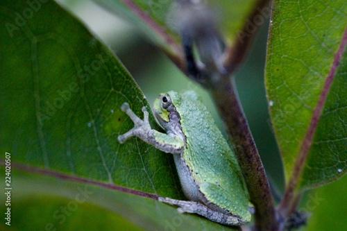 Tuinposter Kikker Green Tree Frog On A Leaf