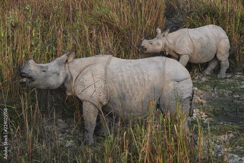 Photo  rhinoceros in kaziranga national park