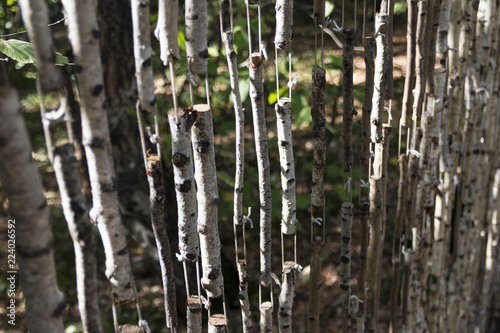 birch curtains in the forest