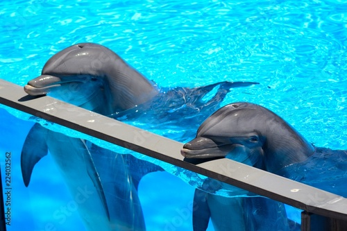 Fotomural Two dolphins resting their heads on the side of a water tank during a dolphin sh