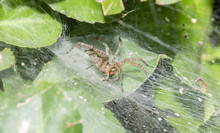 A Funnel Weaver Spider (Agelenidae) Waiting For Prey In A Dense Green Plant In Colorado