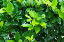 Wax Leaf Ligustrum Green Shrub
