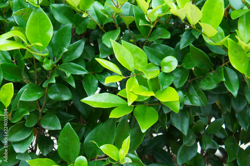 Fotografía  Wax leaf ligustrum green shrub