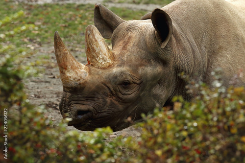 The detail of head black rhinoceros or hook-lipped rhinoceros (Diceros bicornis) with big horns