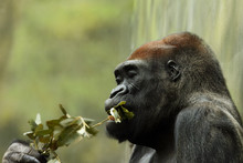The Western Lowland Gorilla (Gorilla Gorilla Gorilla) Is Eating Leaves With Green Background, Detail Of The Head