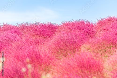 In de dag Candy roze Kochia and cosmos filed Hitachi Ibaraki Japan