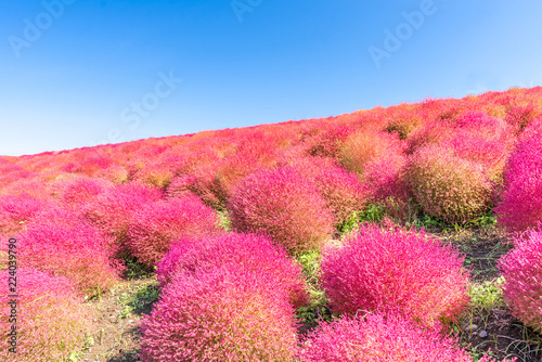 In de dag Candy roze Kochia and cosmos filed Hitachi Ibaraki Japan