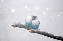 Loverbird Freezing