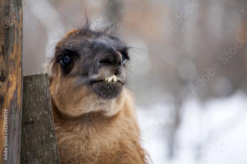 Staande foto Lama Close up on a lama