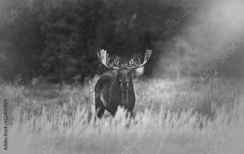 Photo  Bull Moose