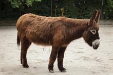 Poitou Donkey (Equus Asinus As...