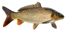 Crucian Carp Fish Isolated. Si...