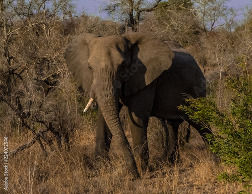 Photo  Elephant Stare