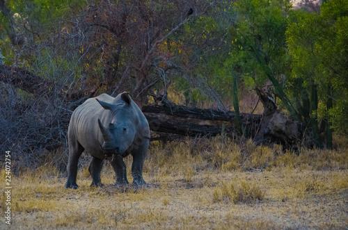 Fotobehang Neushoorn Rhino Eating