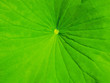 Green leaf of the lotus outdoor in water closeup.
