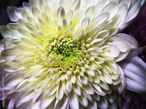 In de dag Dahlia Dahlia closeup