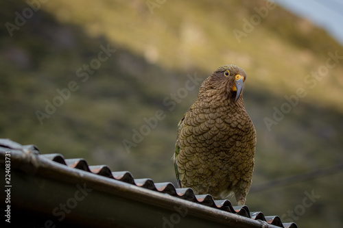 Fotografía  A cheeky and inquisitive kea sits on a roof of a house