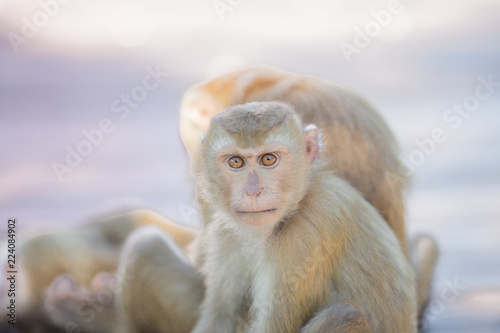 In de dag The background of monkeys, monkeys, food lovers, blurred backgrounds, which come from the swiftness of wildlife, often seen in mountains, zoos, or tourist attractions.