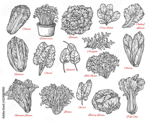 Fototapeta Salad leaves and vegetable vector sketches obraz