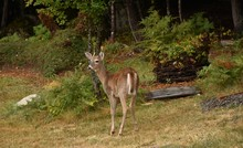 Whitetail Buck Deer Standing I...
