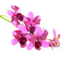 pink orchids flower bouquet isolated on white background