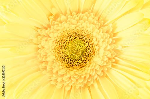 lemon-gerbera-daisy