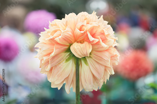 Peach dahlia from back showing sepals
