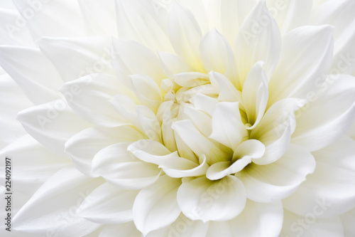 Photo sur Toile Dahlia White Dahlia Close-up