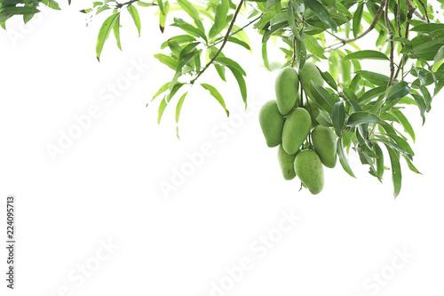 Fresh mango fruit on the mango tree isolated with white background.