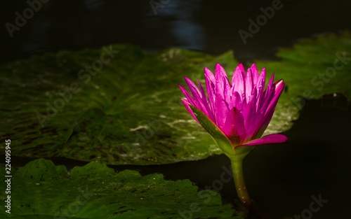 Foto op Canvas Lotusbloem A beautiful pink waterlily or lotus flower in pond