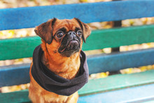 Dog Small Brabanson With Chestnut Color In Scarf Sitting On Bench In The Autumn Park