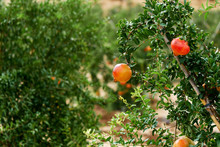 Close Up Of Ripe Pomegranates Hanging On Bush, South Of Spain