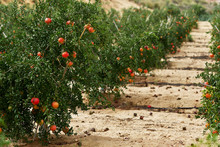 Pomegranates Hanging On Bush, ...