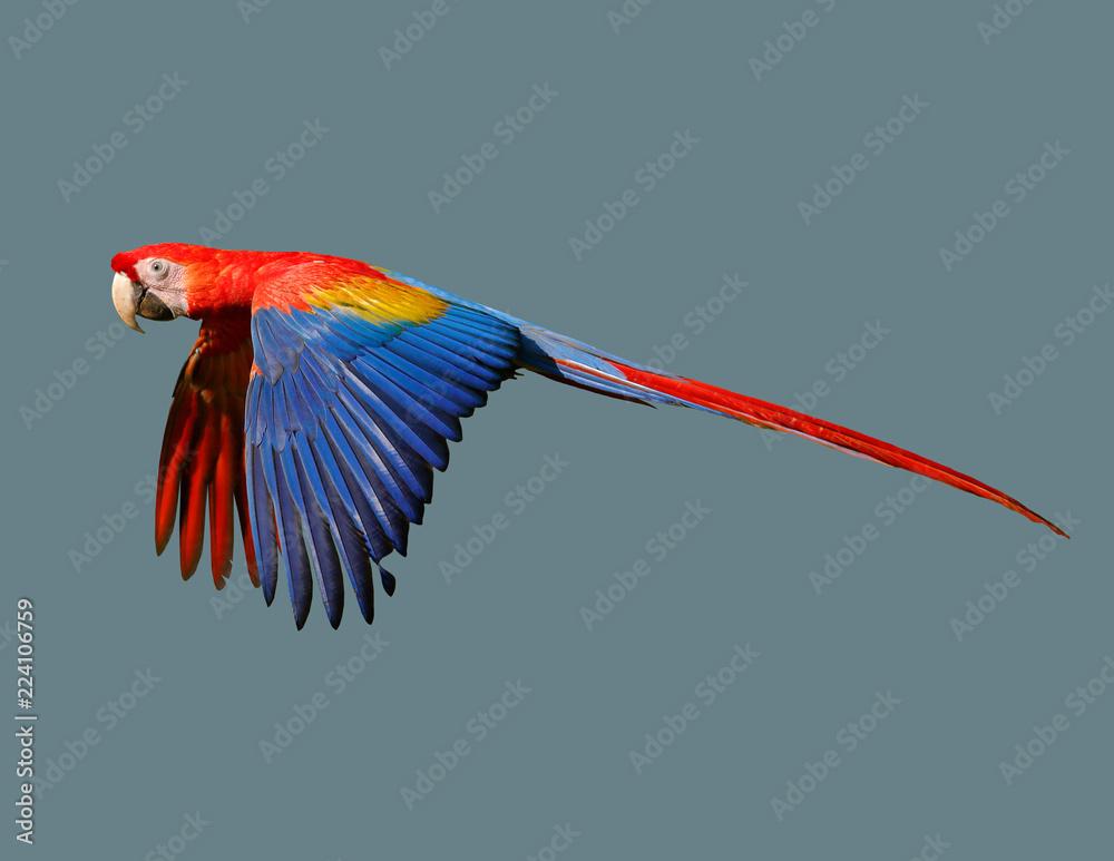 Bird of a parrot in flight