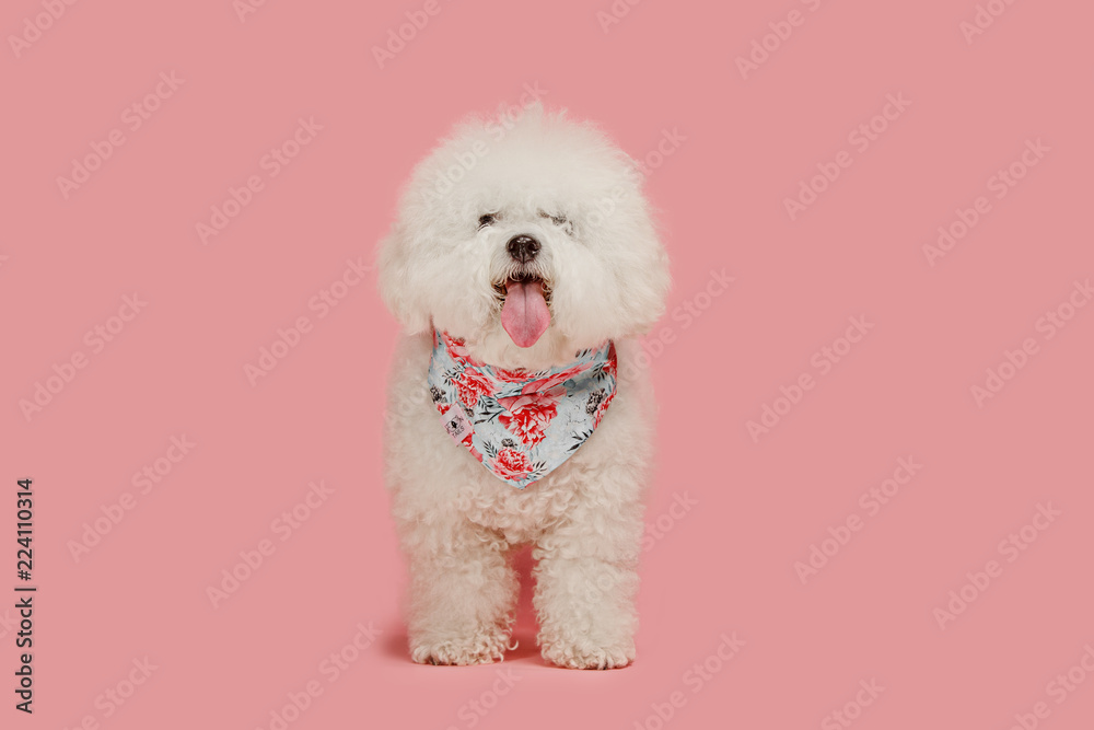 A dog of Bichon frize breed isolated on pink color studio