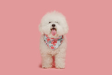 A Dog Of Bichon Frize Breed Is...