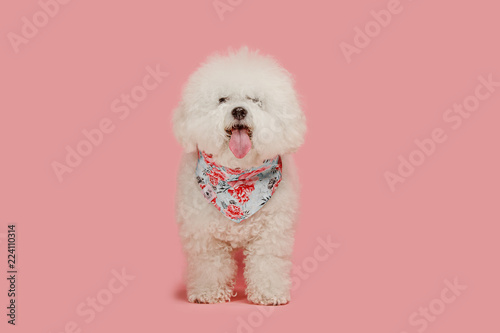 A dog of Bichon frize breed isolated on pink color studio Poster Mural XXL