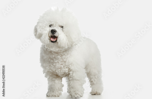 Canvas Print A dog of Bichon frize breed isolated on white color studio