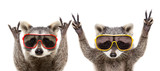 Fototapeta Zwierzęta - Portrait of a funny raccoons in sunglasses showing a gesture, isolated on a white background