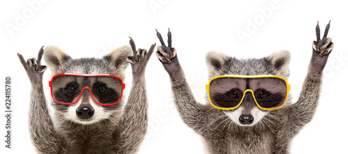 Portrait of a funny raccoons in sunglasses showing a gesture, isolated on a white background