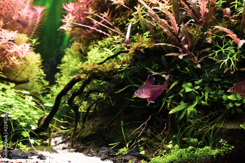 Poster Natuur Still life close up of beautiful tropical aqua scape, Nature Aquarium green plant an tropical colorful fish in aquarium fish tank.