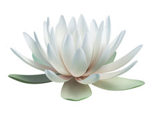 Lotus Flower Isolated On White. Vector Illustration