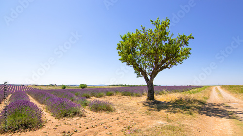 Photo  Summer season landscape with blooming lavender fields at Valensole plateau, Prov
