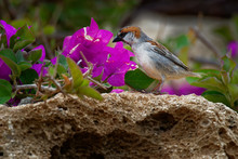 Iago Sparrow - Passer Iagoensis - Male - Also Known As The Cape Verde Or Rufous-backed Sparrow, Is Endemic To The Cape Verde Archipelago, In The Eastern Atlantic Ocean Near Western Africa
