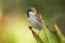 Iago Sparrow - Passer Iagoensi...