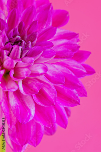 Image of the flower dahlia on pink background