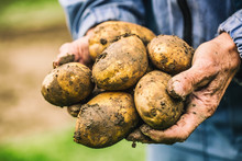 Old Hand Of Farmer Holding Fresh Organic Potatoes