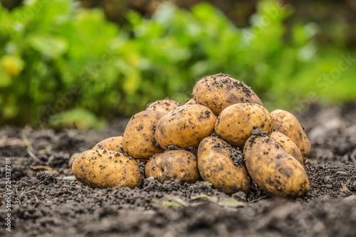 Fresh potatoes which are free lying on the soil.