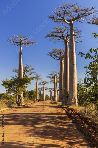 Keuken foto achterwand Baobab Baobab alley in the morning, Madagascar